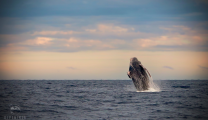 humpback_whale_breach_sunset
